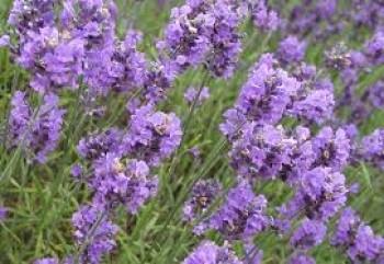 Lavender - Ist