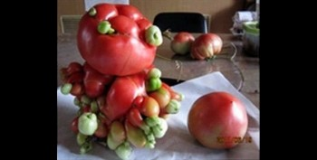 tomat jepang